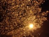 夜桜-時事戯言!炎症性腸疾患(クローン病)