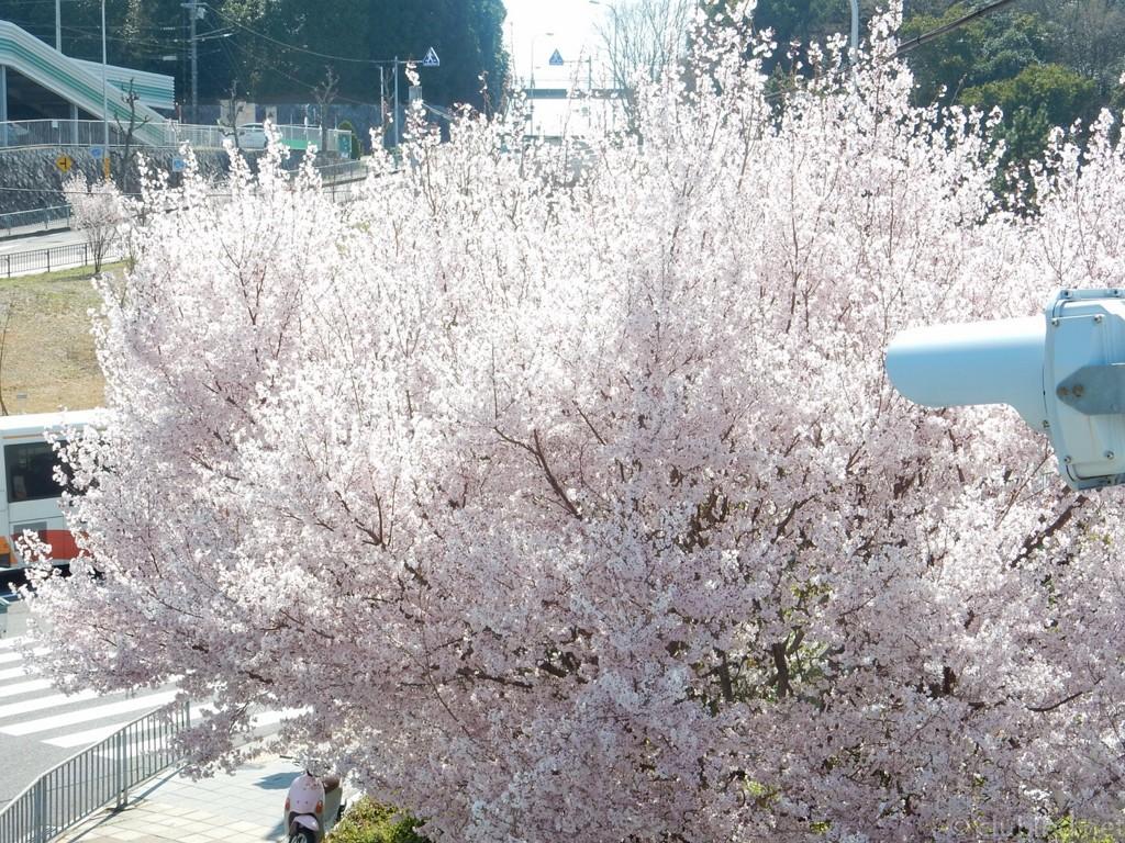 泉ヶ丘の桜