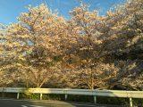大阪府柏原市の桜