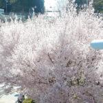 気がついたら桜の季節が終わっていた-クローン病の春150404