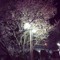 泉北泉ヶ丘駅の桜