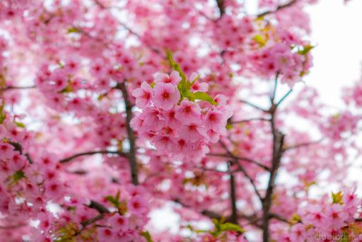 栂・美木多の桜
