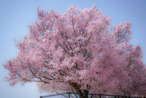 狭山池の桜