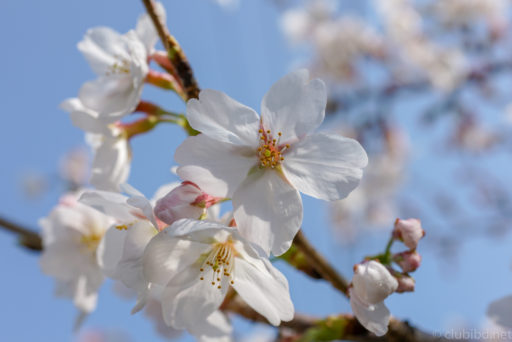 桜背景ボケ写真