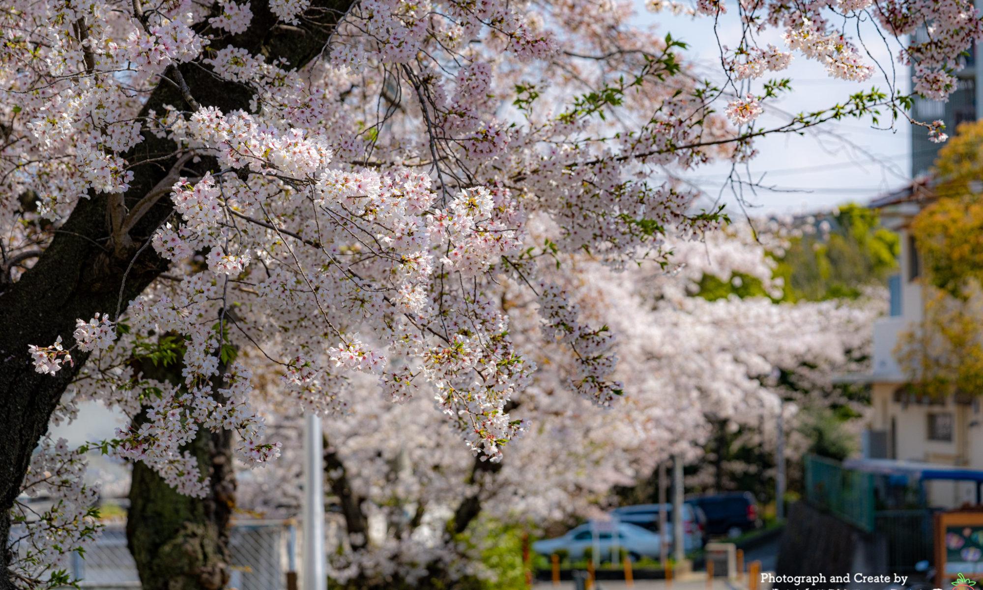 堺市南区の桜