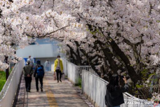 堺市泉ヶ丘の桜